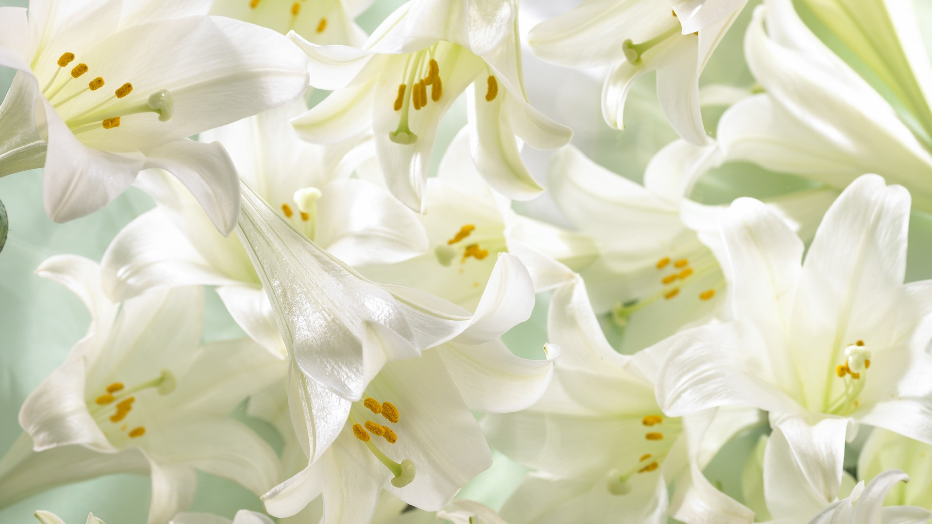 Easter Lilies Wallpaper 1920x1080 Easter Lilies 1920x1080