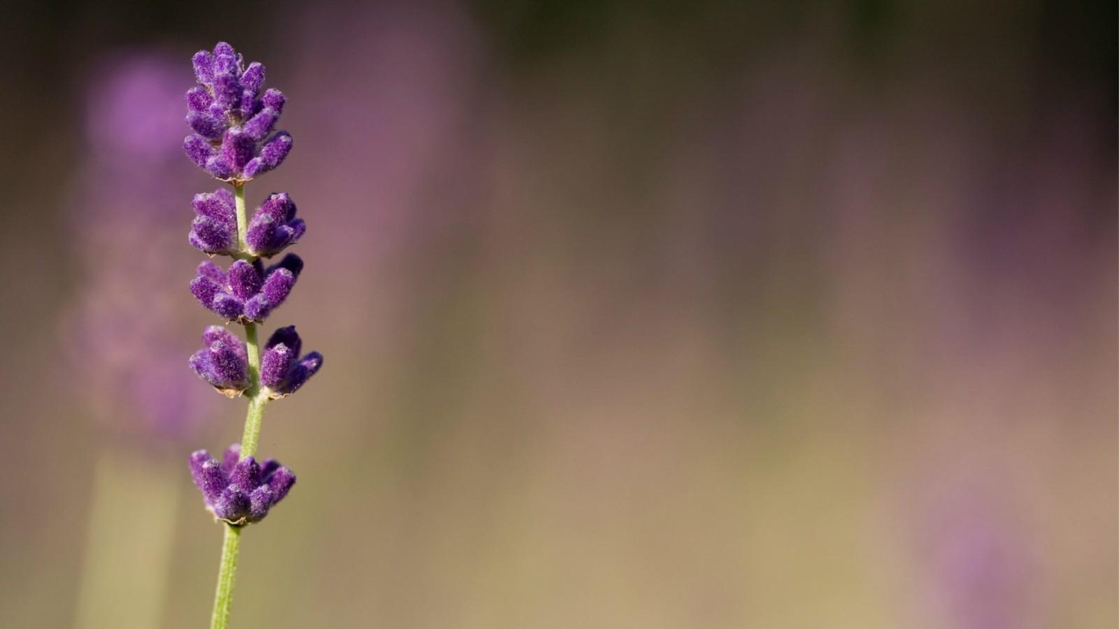 70 lavender wallpaper on wallpapersafari - Lavender purple wallpaper ...