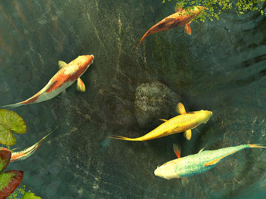 Koi Fish 3D Screensaver   download and software reviews   CNET 540x405
