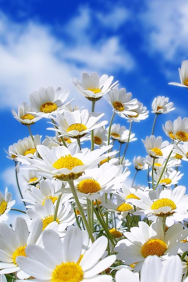 640x960 Spring Daisy Iphone 4 wallpaper 640x960