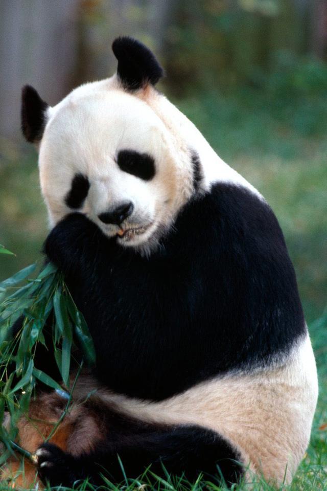 Panda iPhone Wallpaper HD 640x960