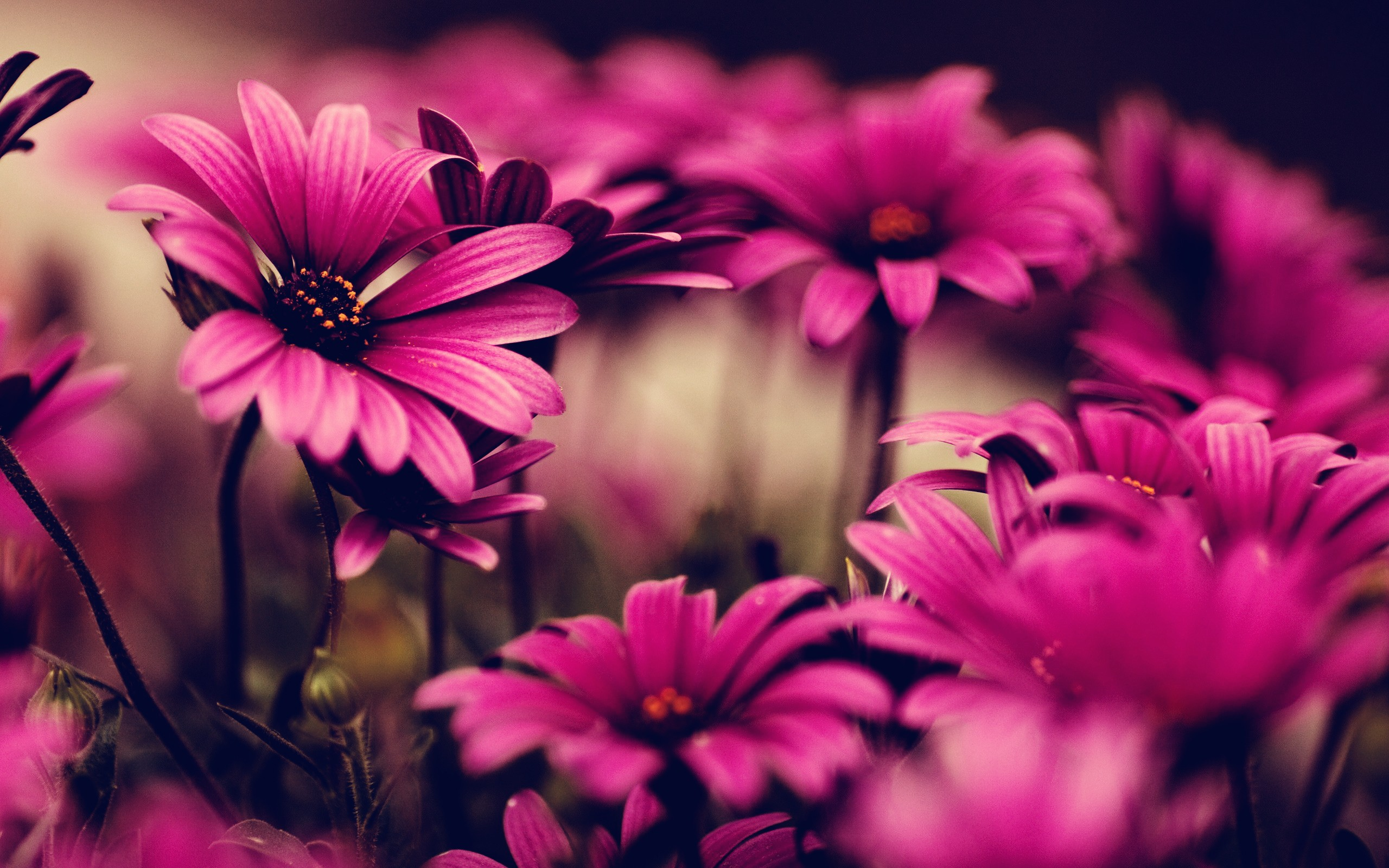 870462 Pink Flowers HD Wallpapers 2560x1600