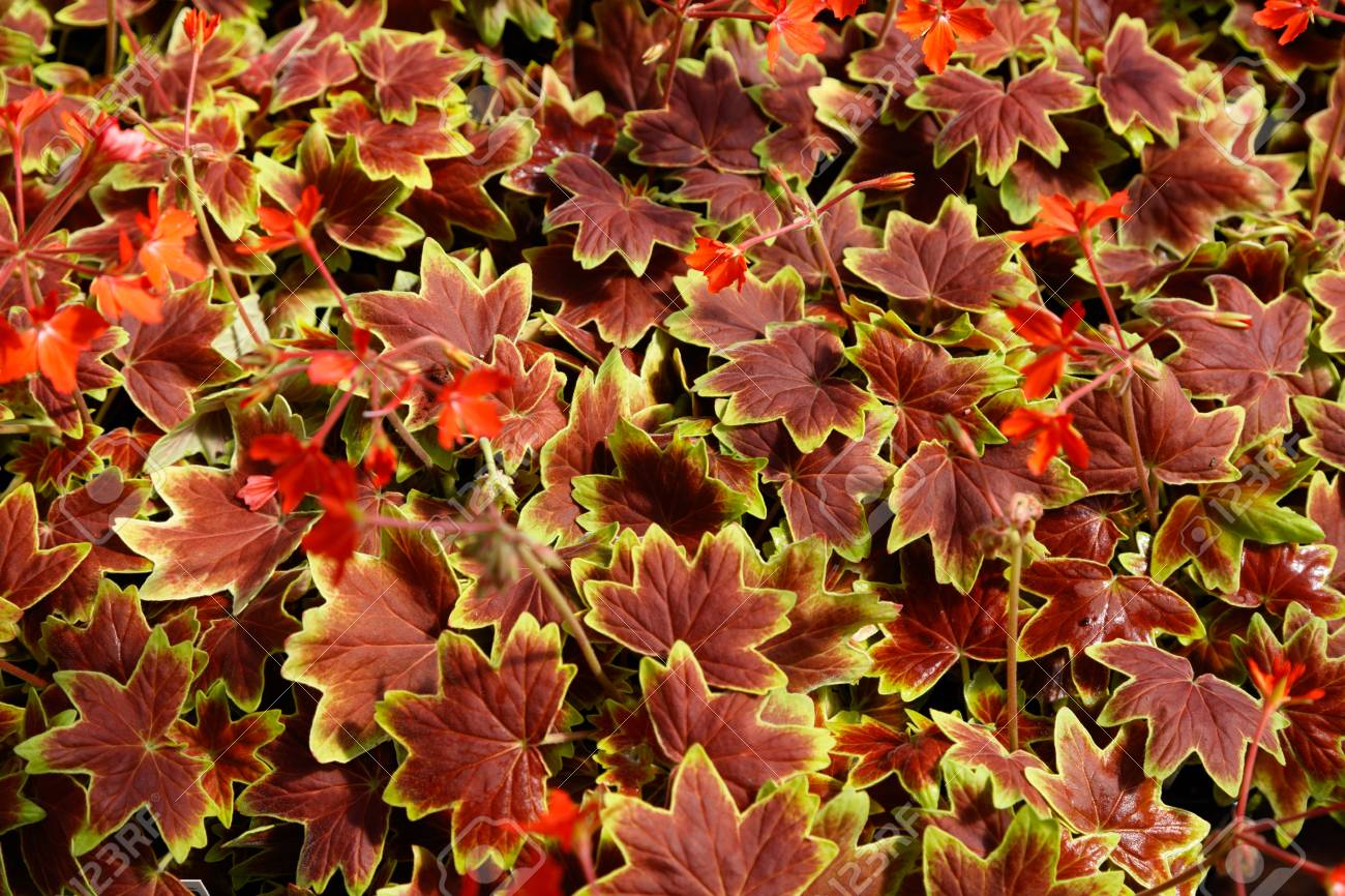 Geranium Vancouver Centennial Flowers Nature Background Top 1300x866