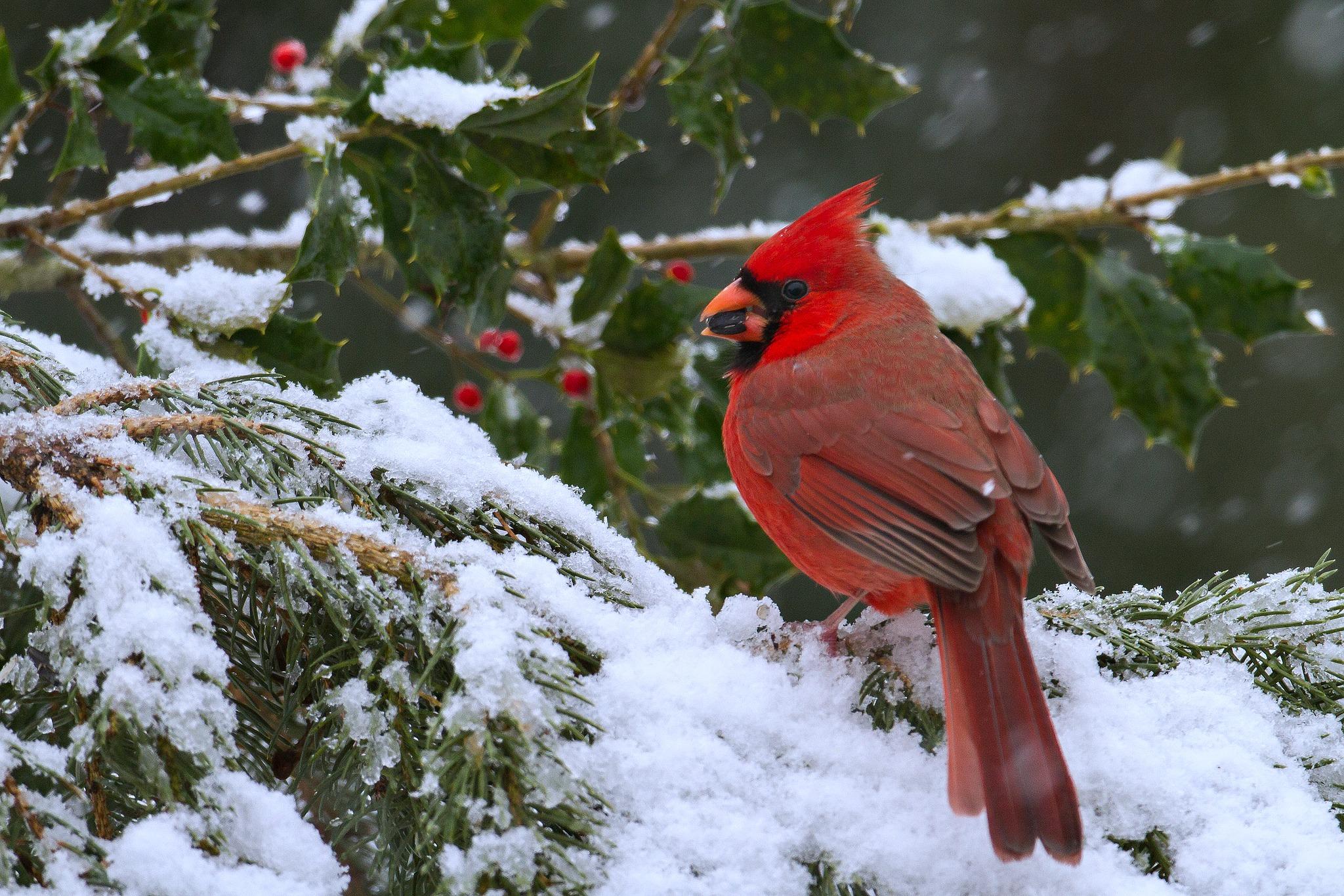 cardinals in snow wallpaper wallpapersafari