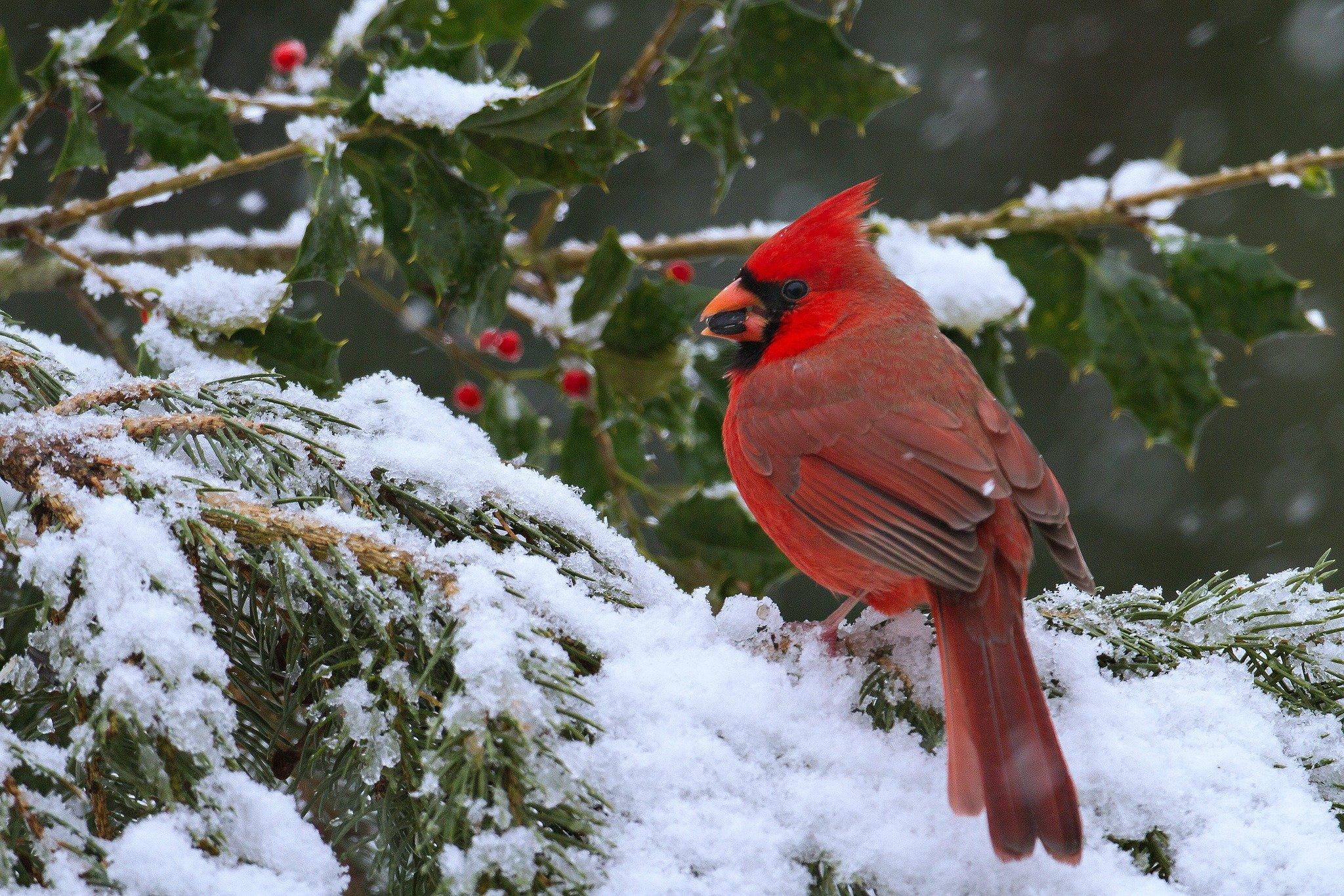 cardinal winter computer wallpaper - photo #28
