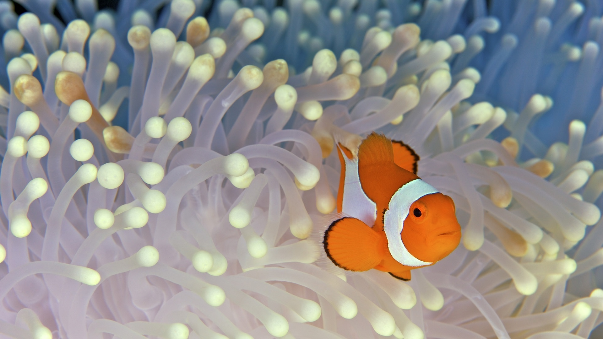 Clown fish wallpaper 1920x1080 69913 WallpaperUP 1920x1080