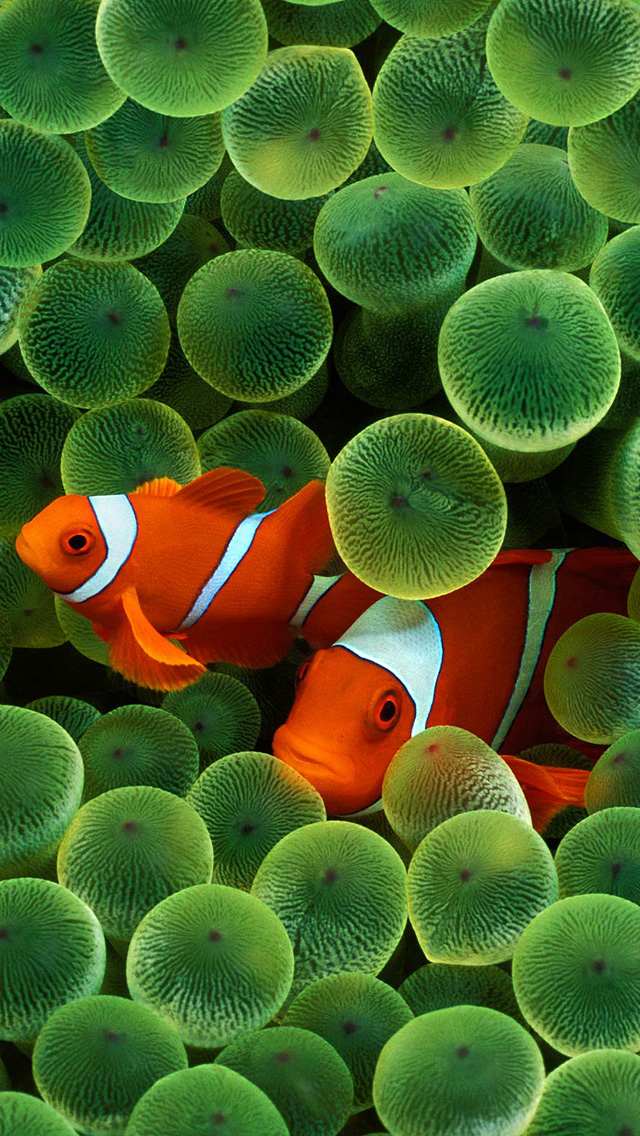 Clown Fish iPhone Wallpaper HD 640x1136