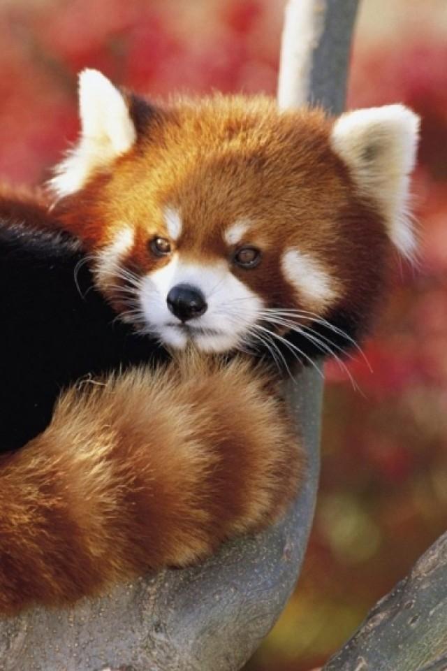 Red Panda iPhone wallpaper 640x960