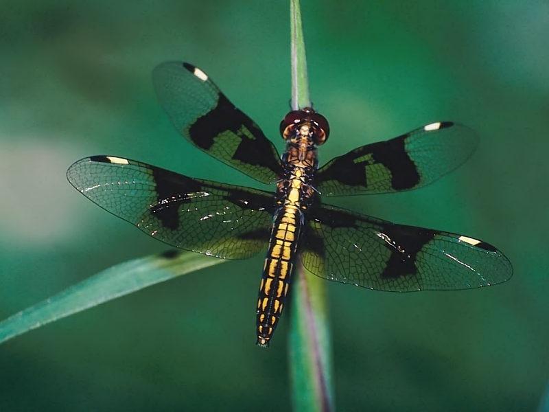 New Dragonfly Desktop Wallpaper   Nature Wallpaper 800x600