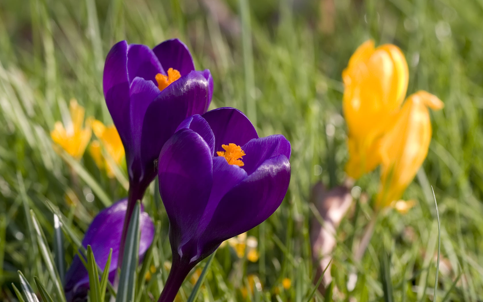Spring Crocus Flowers Background Wallpaper 1680x1050