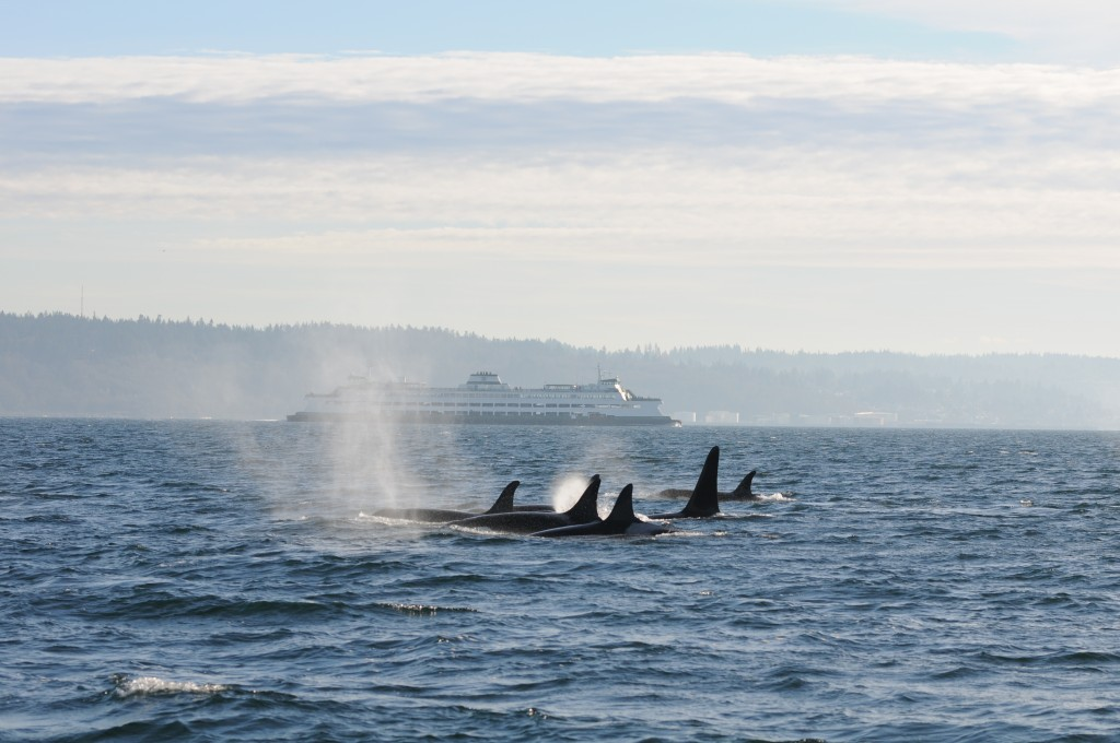 pod of orcas travels on the same route as Puget Sound ferry commuters 1024x680