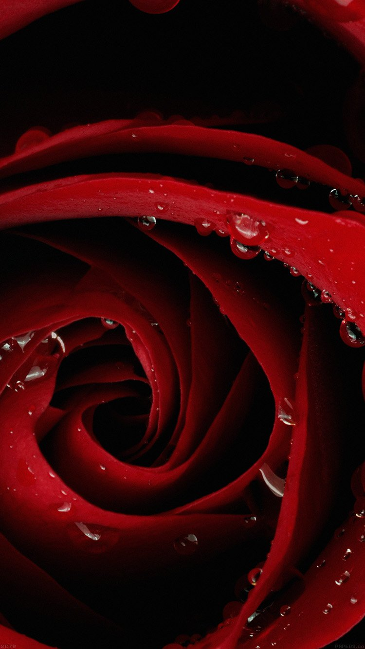 Wallpaper iphone red hd - Red Rose Flower Closeup Iphone 6 Wallpaper Ipod Wallpaper Hd Free