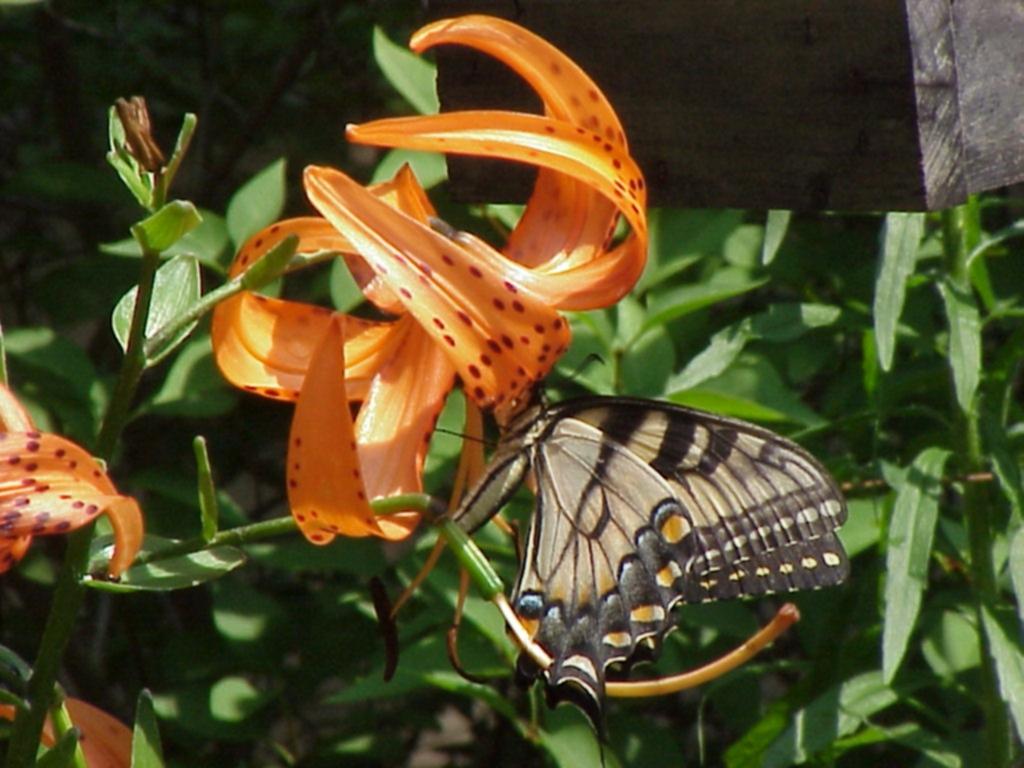 Tiger lily by Freespirit 1024x768