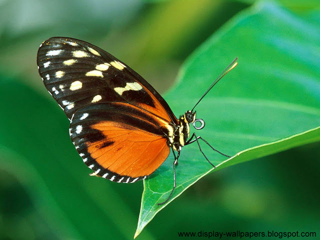 Free Download Wallpapers Download Butterfly Desktop