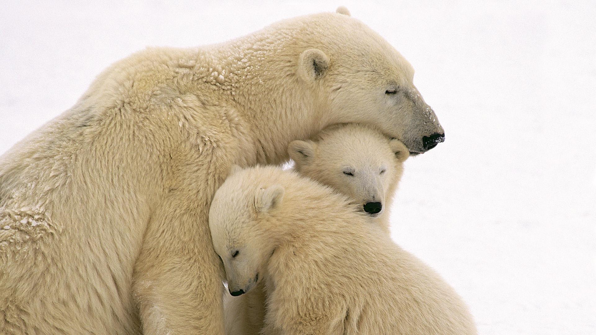 Cute Polar Bear Family Wallpaper HD 10849 Wallpaper High Resolution 1920x1080