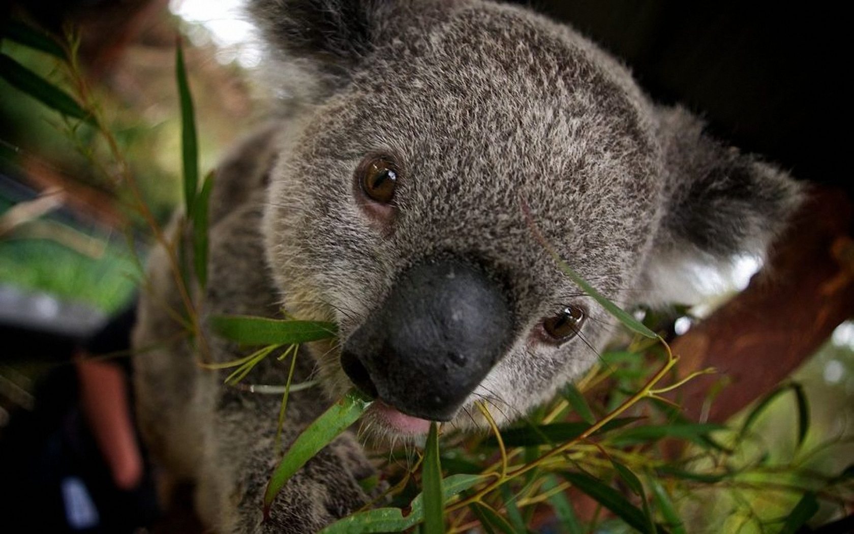 Koala 1680x1050 Wallpapers, 1680x1050 Wallpapers ...