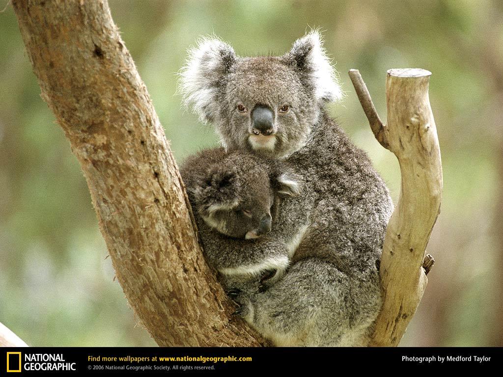 Koala Picture, Koala Desktop Wallpaper , Free Wallpapers , Download