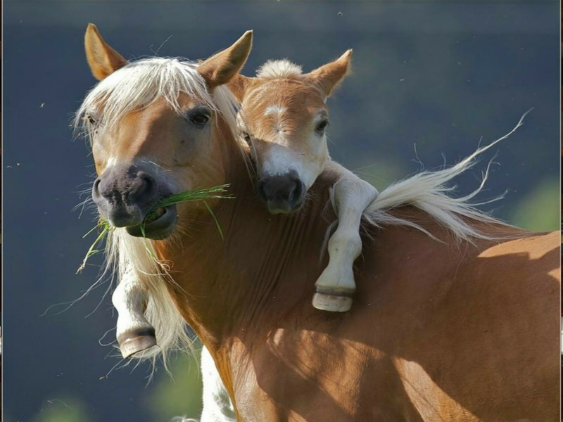 Beautiful Wallpapers wild horses wallpapers 800x600