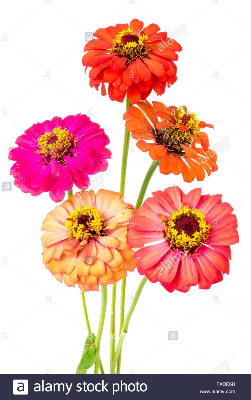 Chrysanthemum And Zinnia Stock Photos Chrysanthemum And Zinnia 873x1390