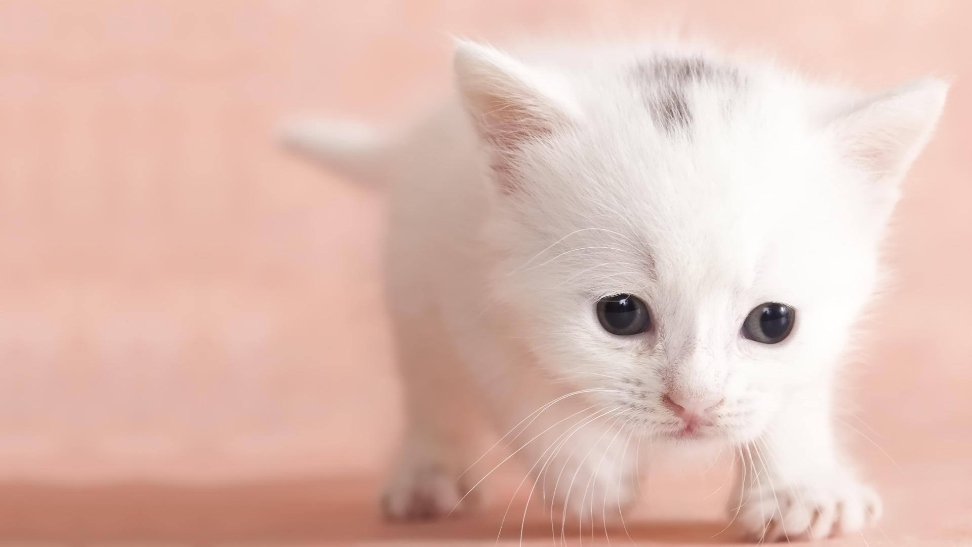 Description Cute Baby Cat HD Wallpapers Download Cute Baby Cat 1920x1080