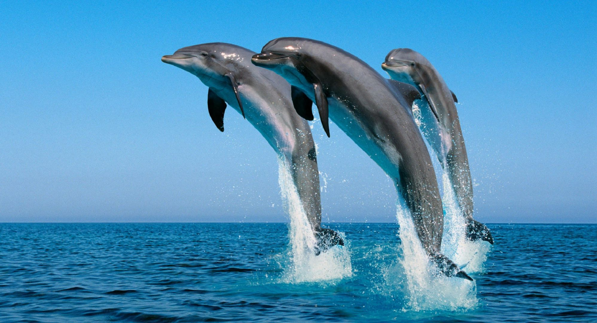 Bottlenose Dolphin Wallpapers Backgrounds 1997x1080