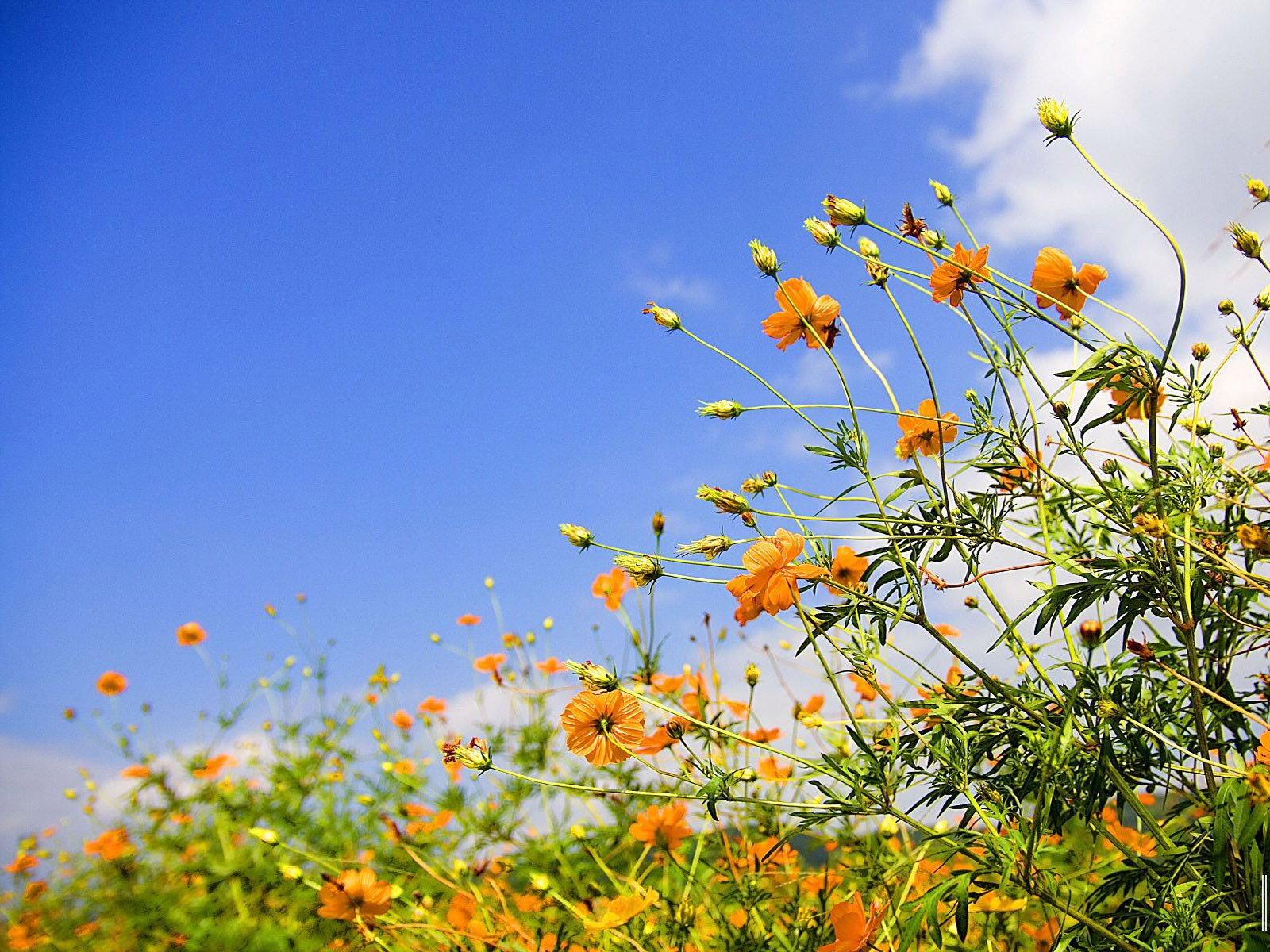 Sky and Spring Flower Wallpaper   Sky and Spring Flower 1600x1200