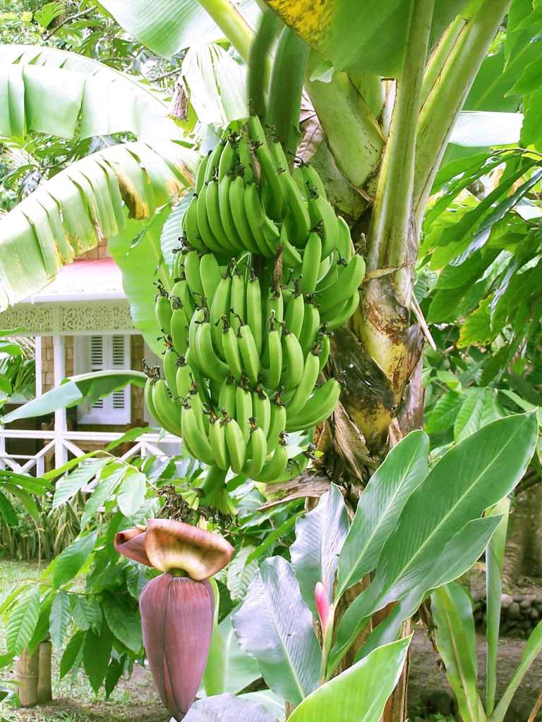 Banana Tree Desktop Wallpaper 3 768x1024