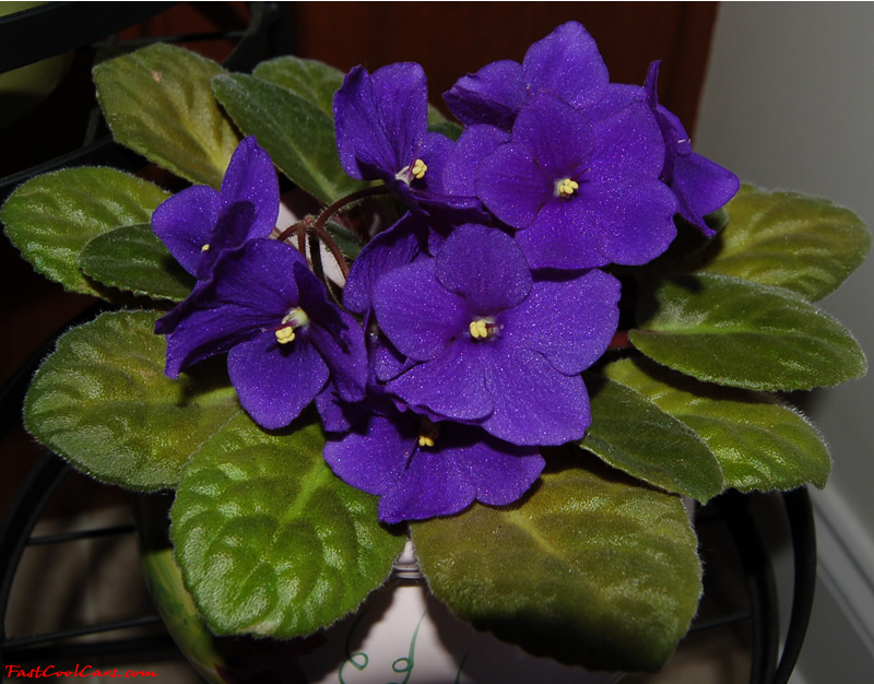 African Violet Wallpaper Wallpapersafari