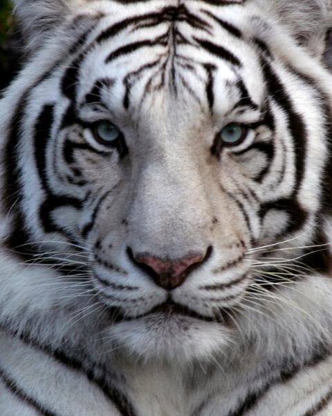 White siberian tiger in snow - photo#20