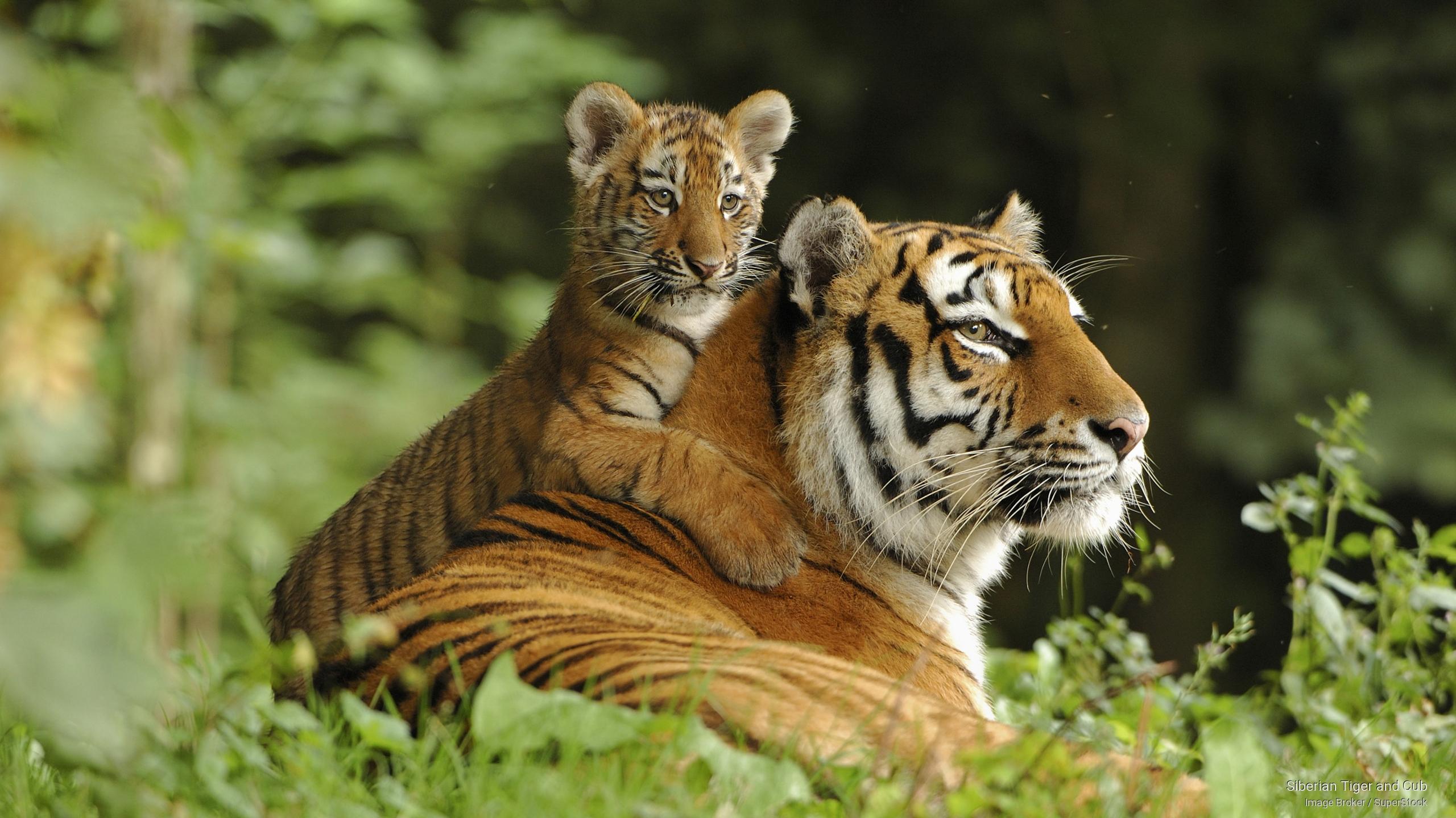 2560x1440px Siberian Tiger Wallpaper - WallpaperSafari