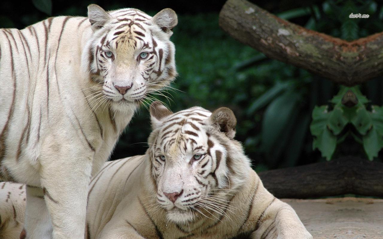 White Bengal Tigers wallpaper   Animal wallpapers   4902 1280x800