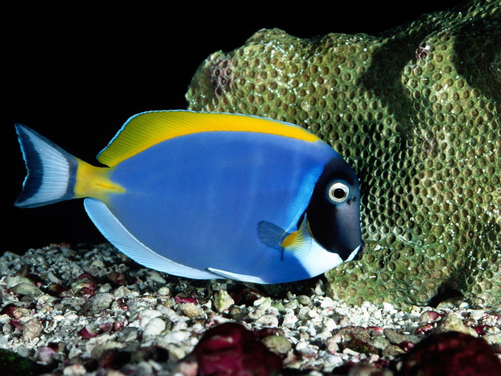 Beautiful Blue Fish Wallpaper HD Wallpapers 1600x1200