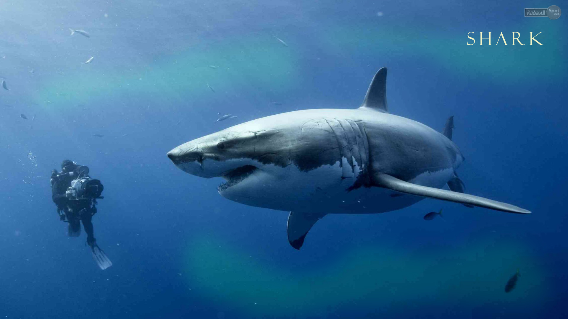 tiger shark 1280x800 - photo #13