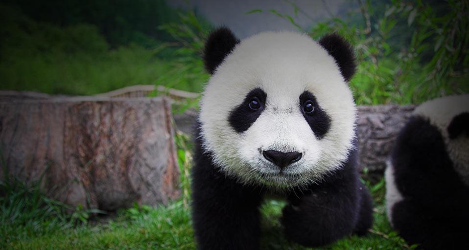 Bing Images   Baby Panda   Frank LukasseckCorbis 958x512