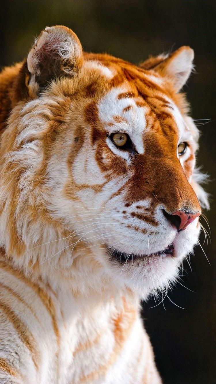 Free download wallpaper autumn nature Animal wallpaper cat tiger