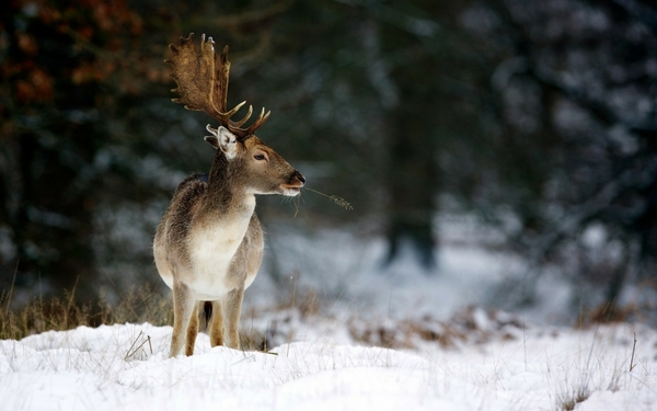 winter snow deer Winter Wallpapers Desktop Wallpapers 600x375