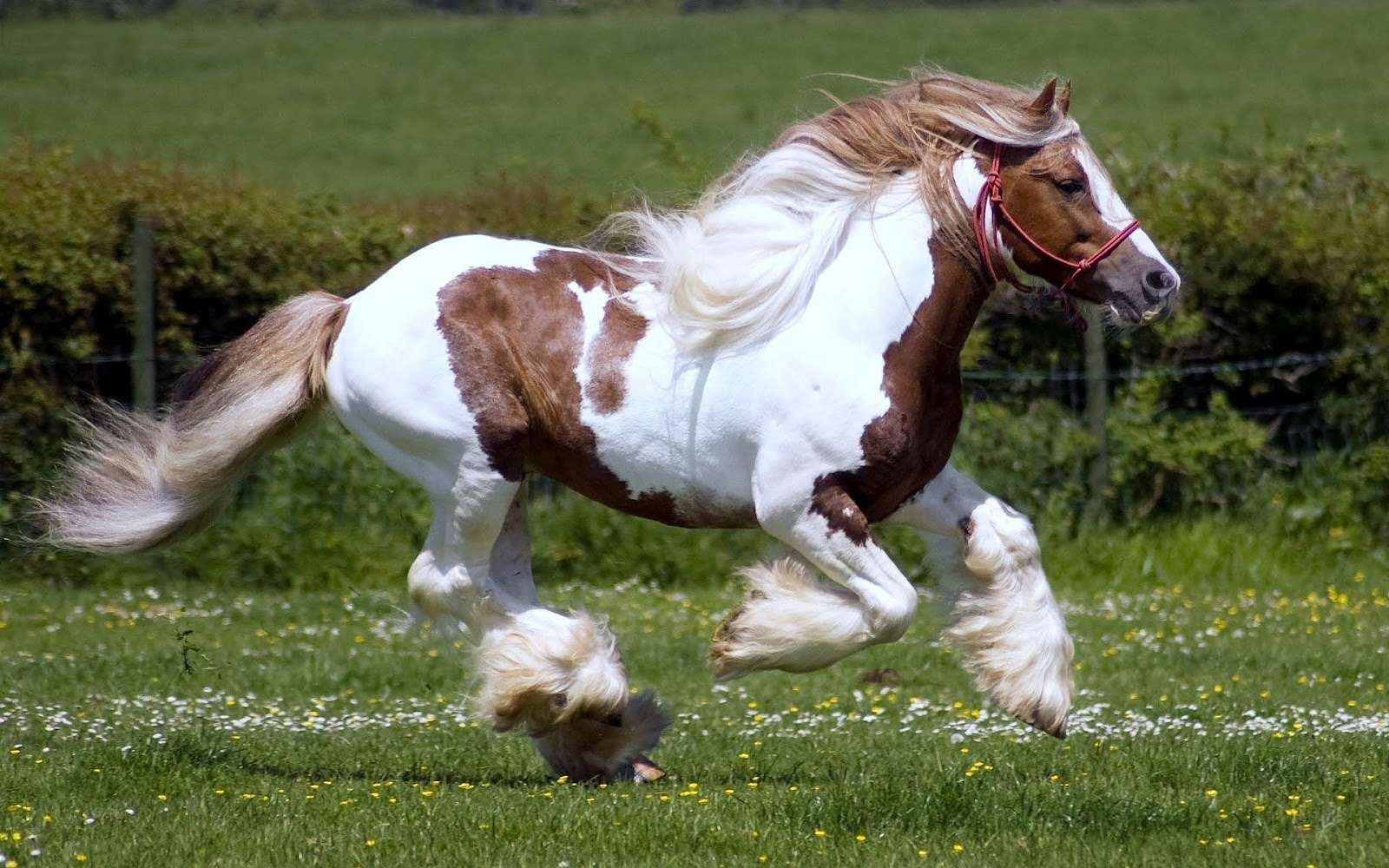 wallpaper with a fast running white brown horse HD horses wallpapers 1600x1000