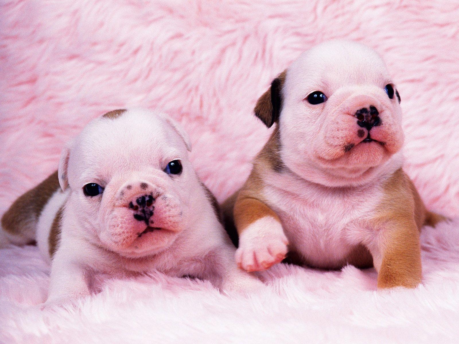 белые собаки щенки животные розовый фон  № 2918161 бесплатно