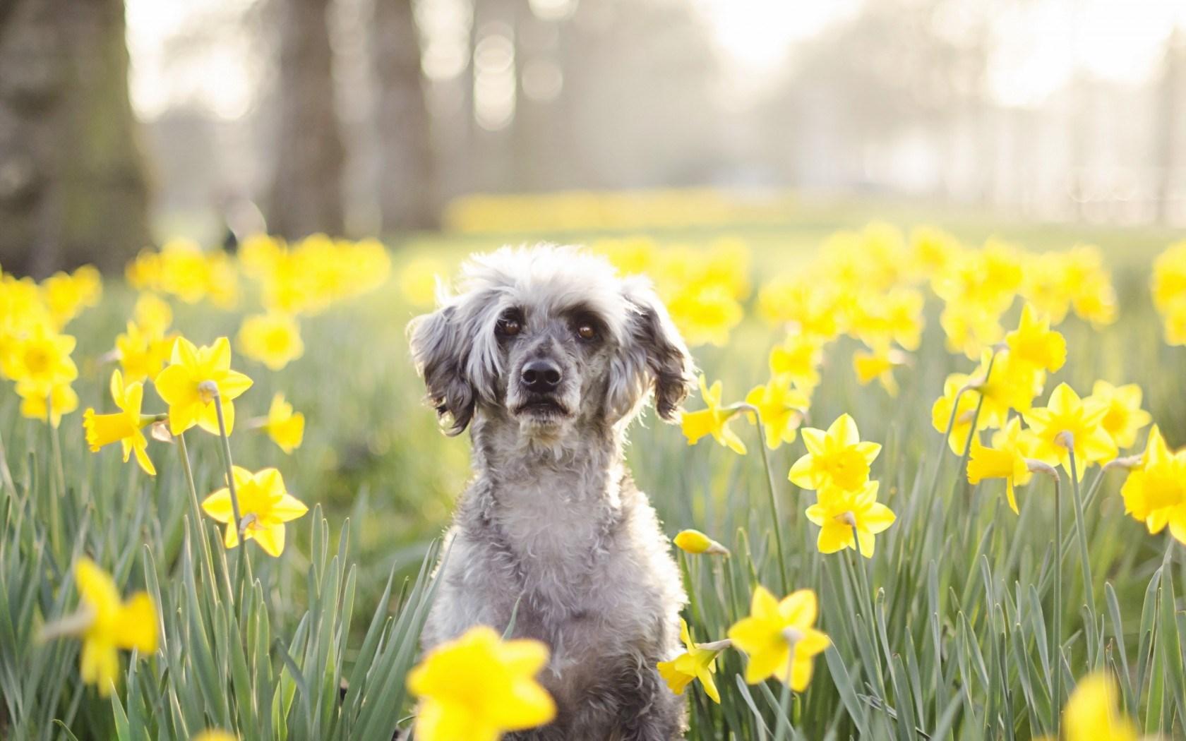 Spring Flowers Yellow Daffodils Dog Mood Hd Wallpaper Wallpaper List 1680x1050