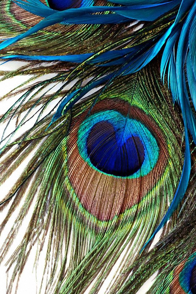 Peacock feather Digital Images Peacock Peacock wallpaper 640x960