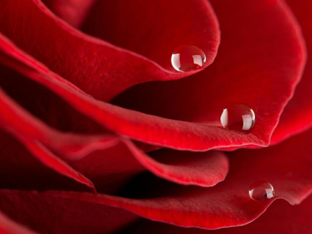 Red rose desktop HD wallpapers 1024x768