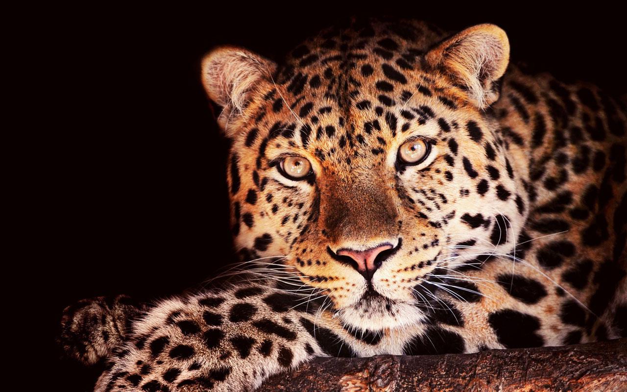Jaguar Wallpaper 1280x800