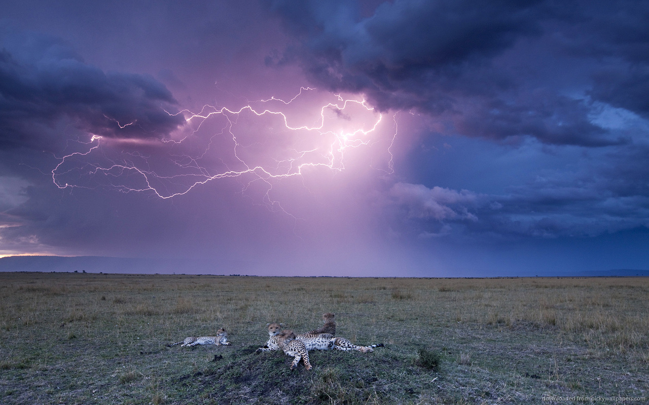 Download 1280x800 Leopards And Lightning Storm Wallpaper 1280x800