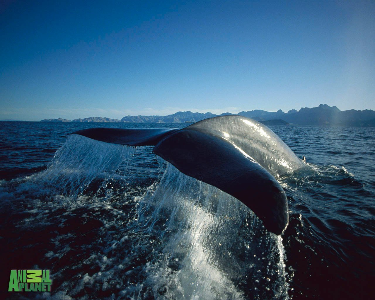 Animal Planet Wallpaper Download   blue whale 1280x1024