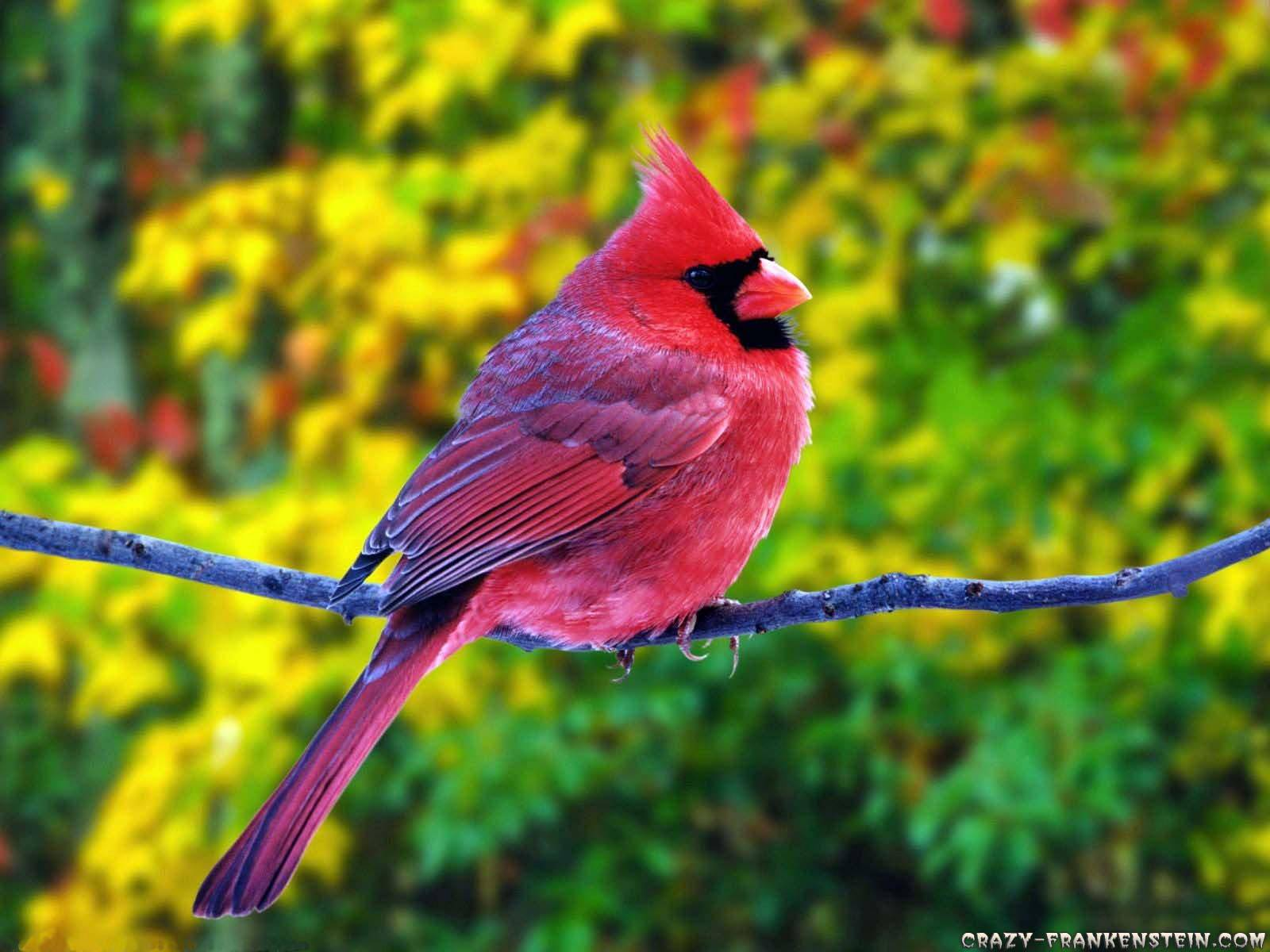 Summer Fat Red Cardinal Red Cardinal fattening up for the winter 1600x1200