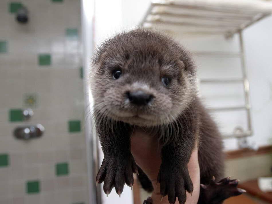 Koningsberg Cute Baby Otters 950x713