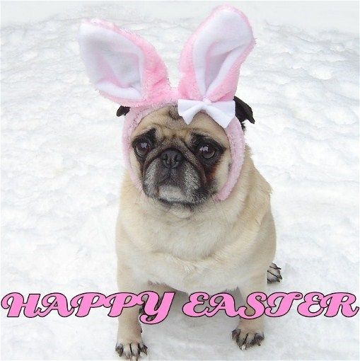 Cute Pug Easter Bunny Happy Easter   Puppies Photo 33991892 509x510
