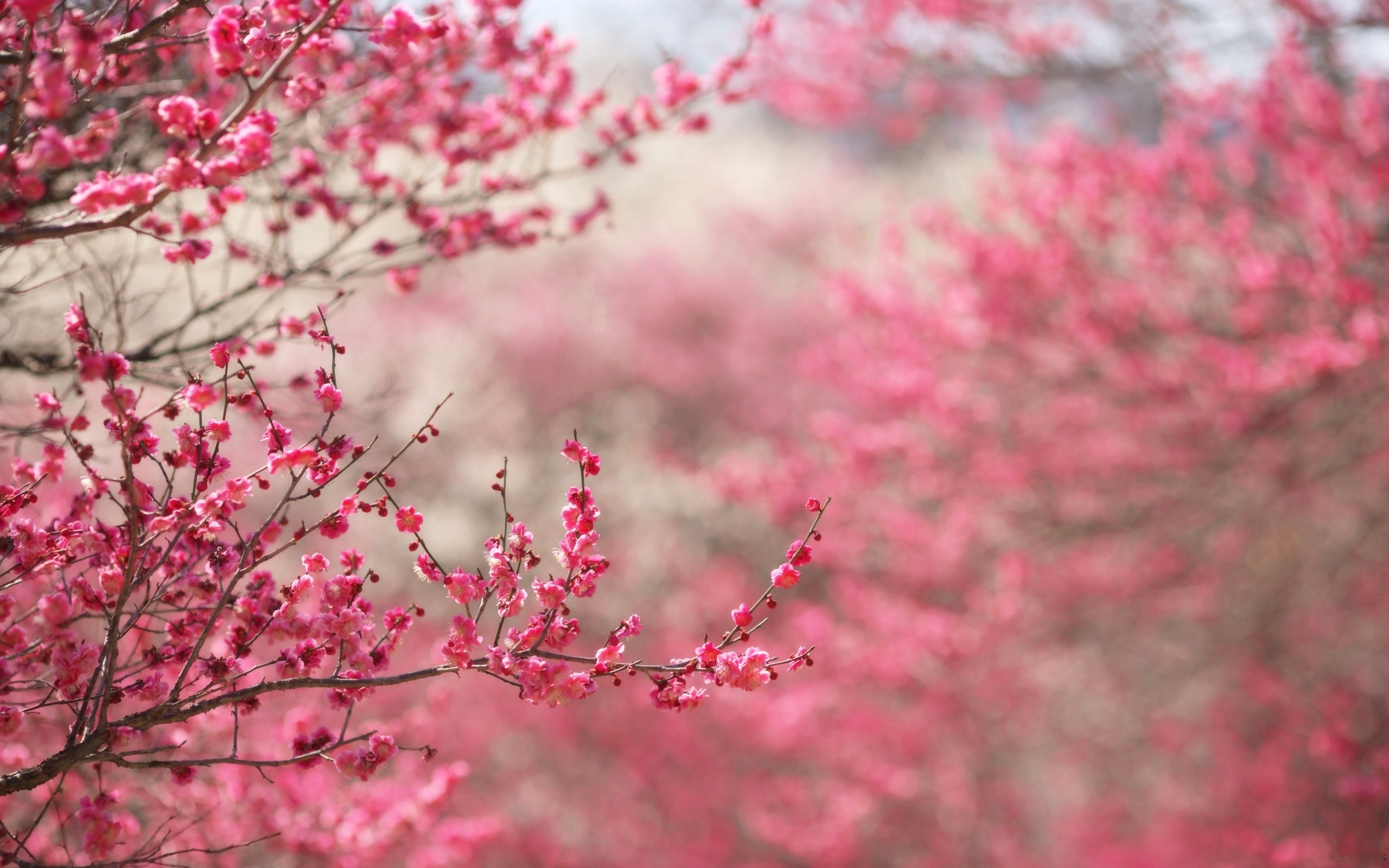 2560x1600 Spring in pink desktop PC and Mac wallpaper 2560x1600