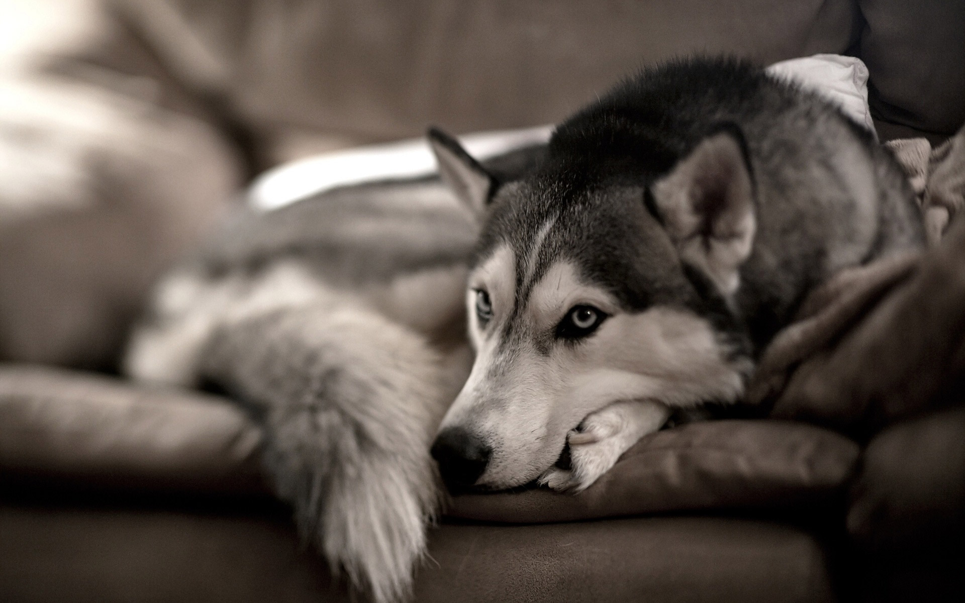 Siberian husky on the couch wallpapers55com Best Wallpapers for 1920x1200