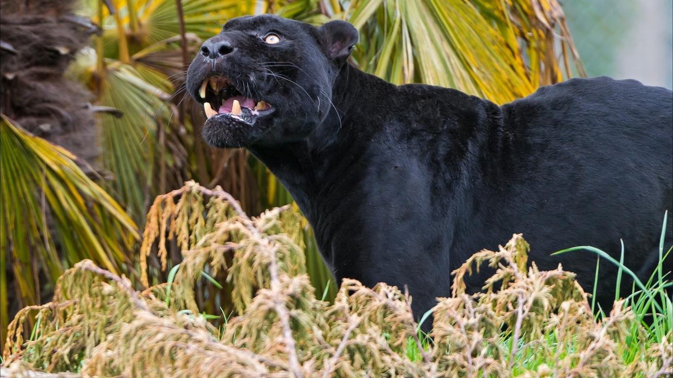 Black panther wallpaper 1366x768